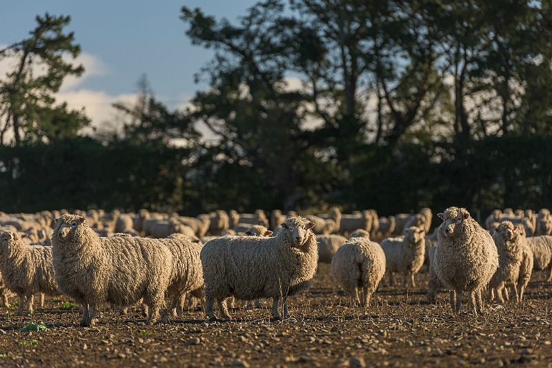 How is Wool Processed? From Sheep to Sheets: Stage 1