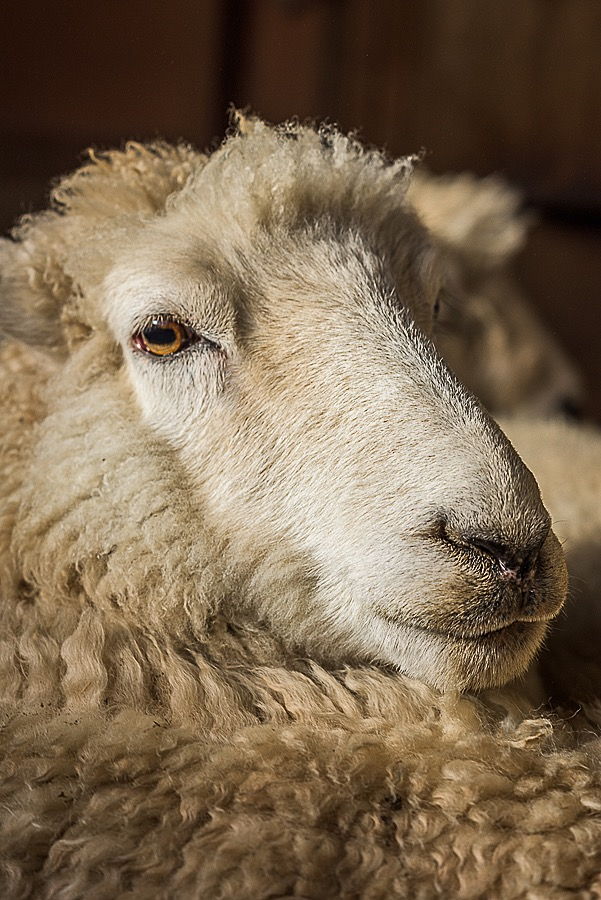 How is Wool Processed? From Sheep to Sheets: Stage 2