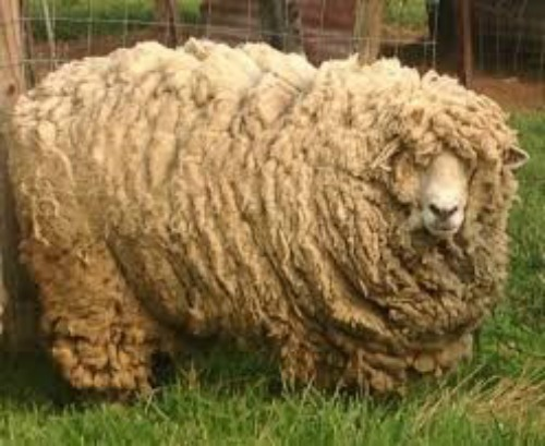 "Common Misconceptions About Wool, Myth #4: ""Sheep Are Harmed During Shearing"""