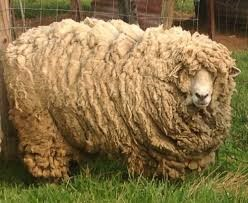 Are sheep harmed when they are being sheared for their wool? What is mulesing and which sheep farmers use this method? Are sheep humanely raised for their wool? Are sheep being raised in overcrowded pastures?