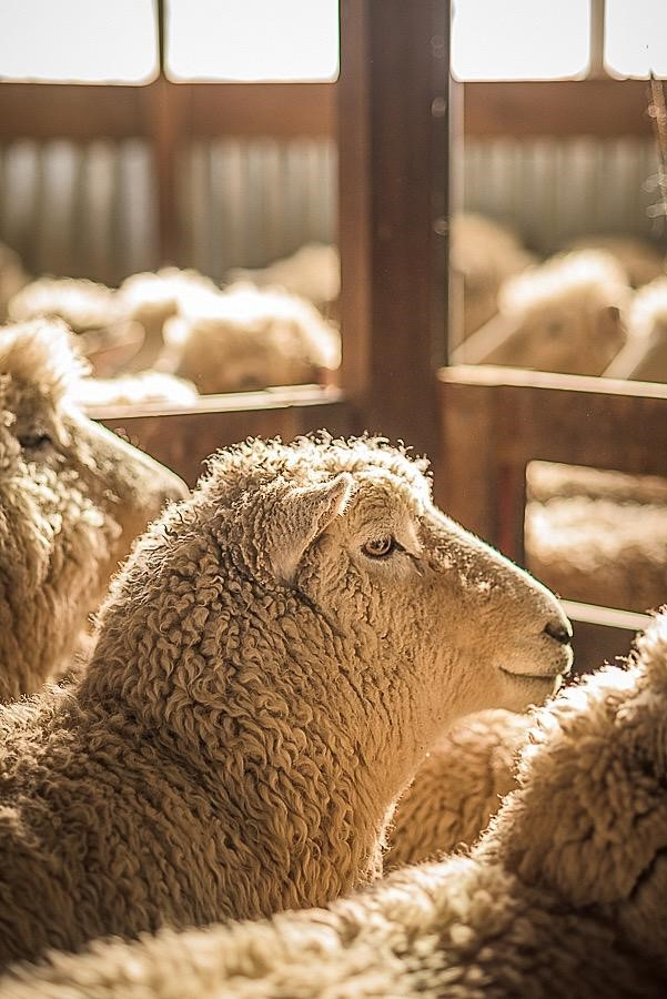 "Common Misconceptions About Wool, Myth #9: ""Wool Smells Like Sheep"""