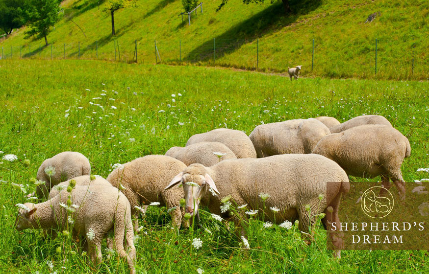 climate beneficial wool: prescriptive grazing